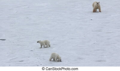 Behavior of Polar bear family near ship. - Polar bear near...