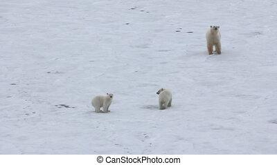 Behavior of Polar bear family near ship. - Polar bear near...