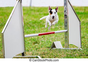 behendigkeit, hund, mit, a, steckfassung russell terrier