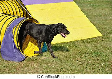 behendigkeit, labrador, tunnel, gelber , abgang, schwarz, apportierhund