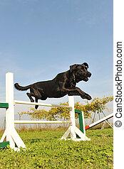 behendigkeit, labradorhundapportierhund