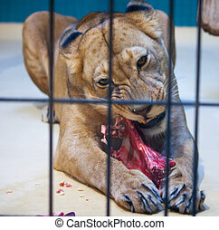 Behind bars in a zoo lion eating meat