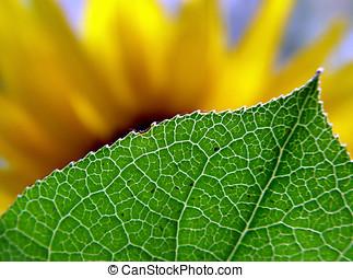 Behind the leaf - Blurred sunflower hiding behind the leaf