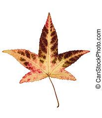 beige brown red Japanese maple leaf