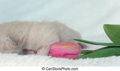 beige Burmese kitten with a pink tulip, close up
