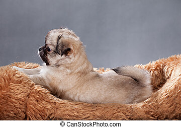 Beige Chihuahua puppy on a shaggy pillow