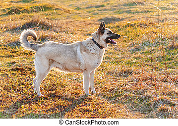 Beige colored shepherd dog on meadow at sunset.
