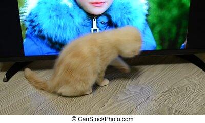 Beige kitten exploring the TV standing on floor