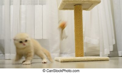 Beige kitten playing with a toy and scratching post - Beige...