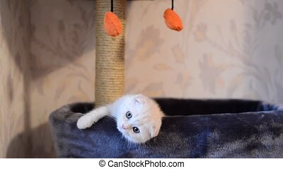Beige kitten Scottish Fold breed on  bed near the scratching posts