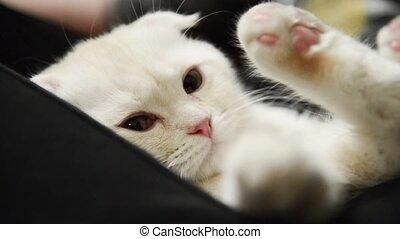 kitten slumbers on the lap of boy - beige kitten slumbers on...