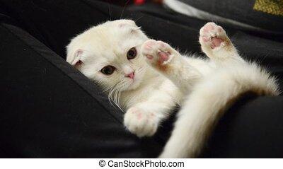 beige kitten slumbers