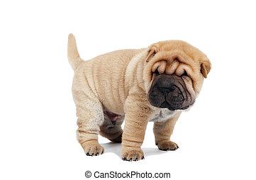 beige puppy of sharpei