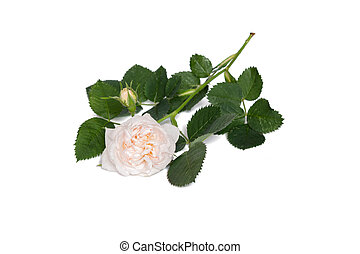 beige rose flower isolated on white background