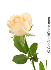 Beige rose on a white background