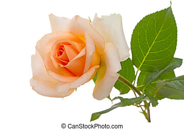 Beige rose on white