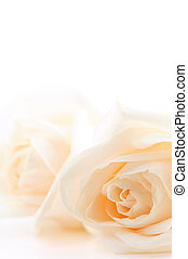 Floral background of two delicate high key beige roses macro on white