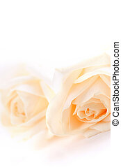 Beige roses - Macro of two delicate high key beige roses on...
