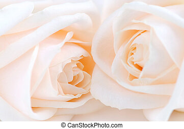 Two delicate high key beige roses macro floral background