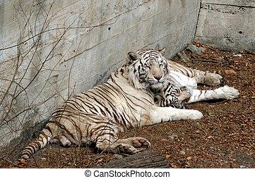 Beijing China - White Tigers in Beijing Zoo.