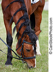 Being grazed sports horse on a lawn
