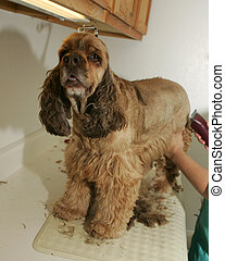Being Groomed - A dog being groomed