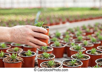 bekwaam, senior, bloemist, is, aanplant, vegetatie, op, het centrum van de tuin
