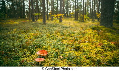 Belarus, Europe. Time lapse mushroom. Russula emetica - sickener, emetic russula, or vomiting russula, is a basidiomycete mushroom. Autumn Forest. Conditionally edible fungus. Sunshine In Sunny Autumn Day. Sunlight Through Woods Landscape. 4K.