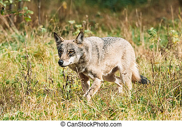 Belarus. Forest Eurasian Wolf - Canis Lupus Running In Natural Environment. Autumn Forest