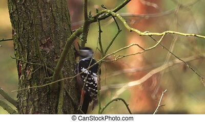 Belarus. Great Spotted Woodpecker Or Dendrocopos Major Is A Medium-sized Woodpecker With Pied Black And White Plumage And A Red Patch On The Lower Belly.