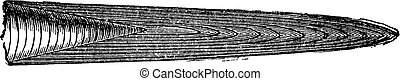 belemnites, ジュラ紀, 型, くちばし, 様々, engraving.