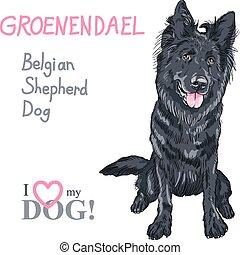 belga, pásztor, groenendael, fajta, kutya, kutya