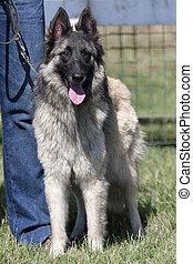belga, pásztor