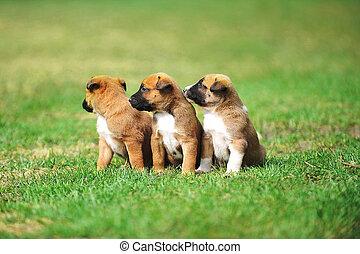 belga, perritos, pastor, malinois