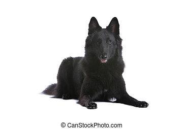 belgian black shepherd dog lying, isolated on a white background