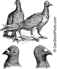 Belgian carriers- Liege or Antwerp pigeon vintage engraving...