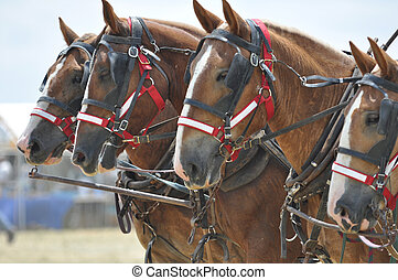 Belgian Draft Horses 4 abreast close up