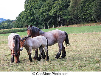 Belgian Draft Horses - A Belgian draft horse mare keeps a...