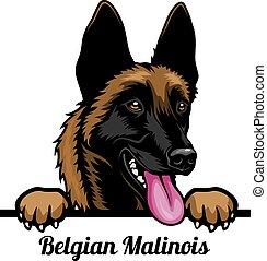 Belgian Malinois - Color Peeking Dogs - breed face head ...
