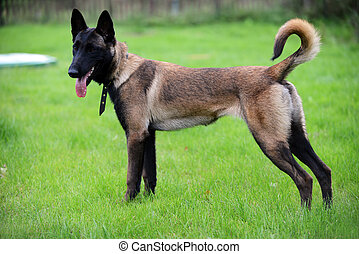 belgian malinois - Malinois Dog 6 months old Belgian...