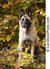 Belgian shepherd - A portrait of a belgian shepherd ...