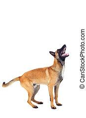 belgian shepherd dog isolated on white background