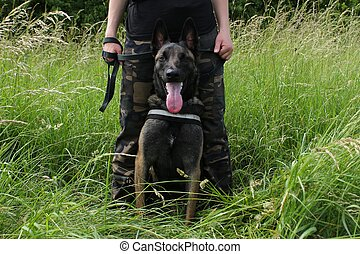 Belgian shepherd malinois attentive to the orders of his master sitting between the legs in protection