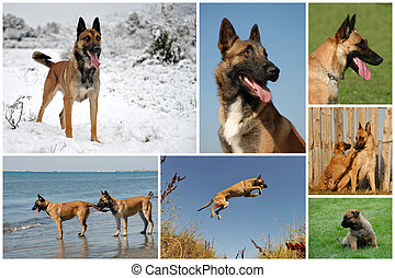 belgian shepherd malinois - composite picture with purebred...
