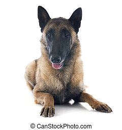 belgian shepherd in front of white background