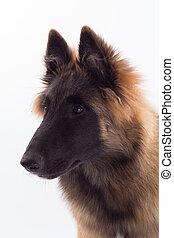 Belgian Shepherd Tervuren dog puppy