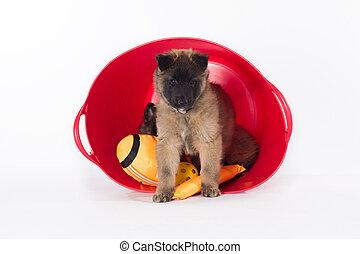 Belgian Shepherd Tervuren puppy