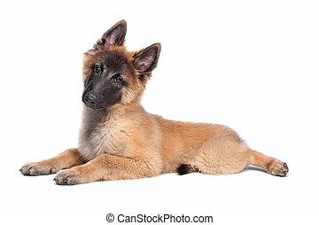 Belgian Shepherd (Tervuren) puppy