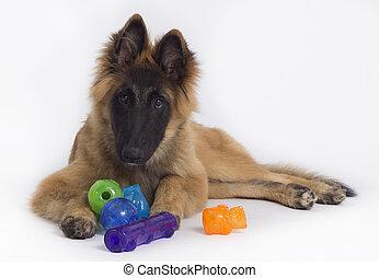 Belgian Shepherd Tervuren puppy with colored toys, white studio background