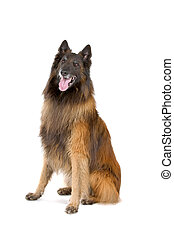 Belgian tervuren(chien de berger belge) sticking out tongue, isolated on a white background